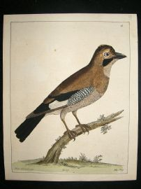 Albin: 1730's Hand Colored Bird Print. The Jay
